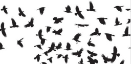 Crows FLying1